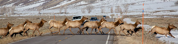 Jackson Elk Crossing Highway