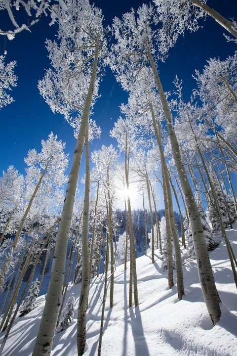 Snowmass Trees